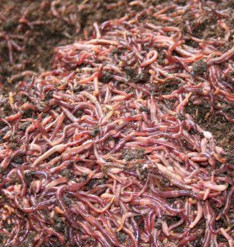 composting-red-worms-5lb.jpg