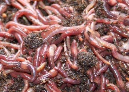 composting-red-worms-close-up.jpg